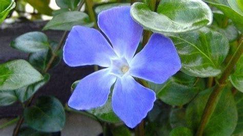 pervinca fiore vinca minor piante annuali caratteristiche della vinca