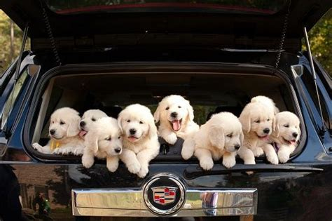 bringing home golden retriever puppy 17 best ideas about golden retriever puppies on dogs baby dogs