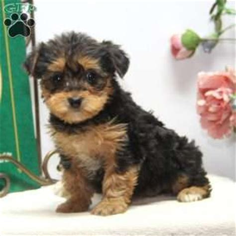 yorkie breeders in nj for sale yorkie mix puppies for sale in de md ny nj philly dc and baltimore to breeds picture