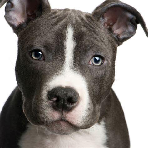 raising a pitbull puppy a pit bull puppy thriftyfun