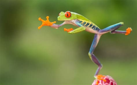 Jump Frgog 03 in pictures jumping eyed tree frogs of costa rica by