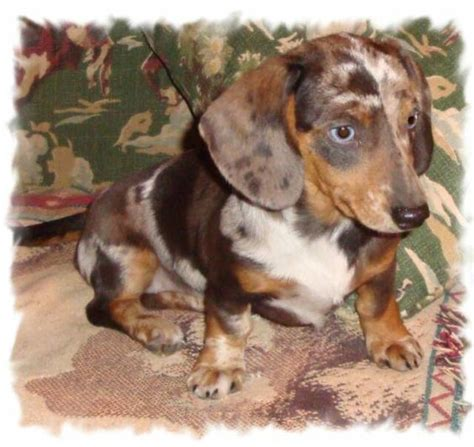 tri color dachshund the world s catalog of ideas
