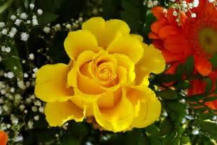 Fotos de rosas amarillas