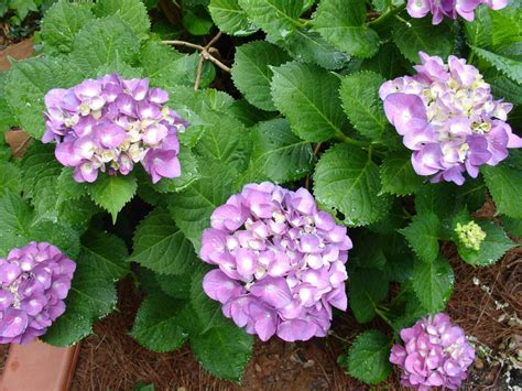 Hydrangea Planter by How To Care For Hydrangeas Hgtv