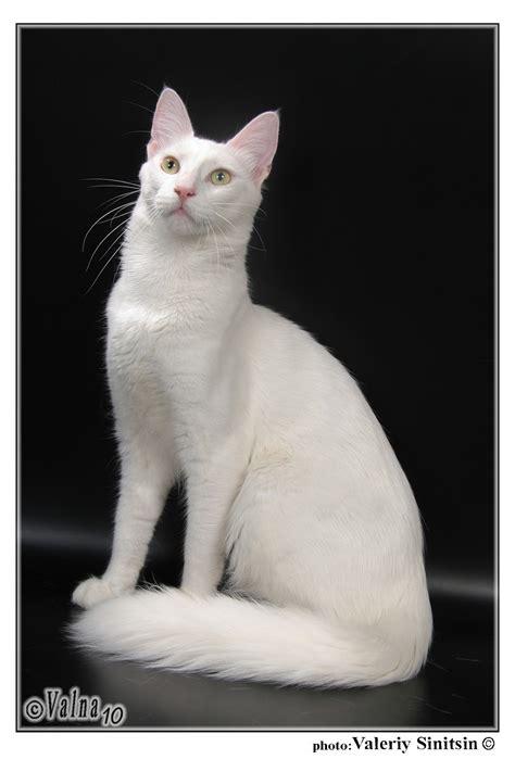 gambar jenis kucing anggora beserta harganya berita jujur