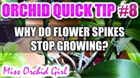 how do flowers last orchid tip 8 why do orchid flower spikes stop growing