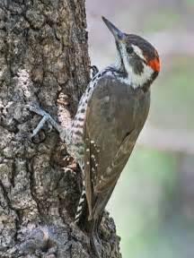 Great American Backyard Bird Count Arizona Woodpecker Identification All About Birds