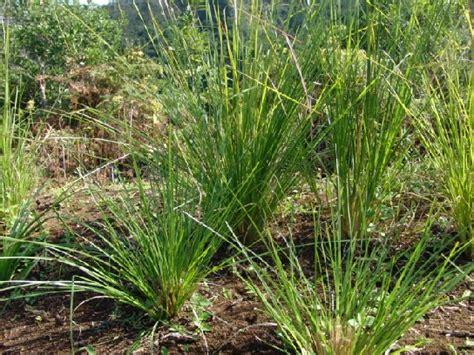 Minyak Atsiri Serai Wangi akar wangi mengandung minyak atsiri secara tradisional