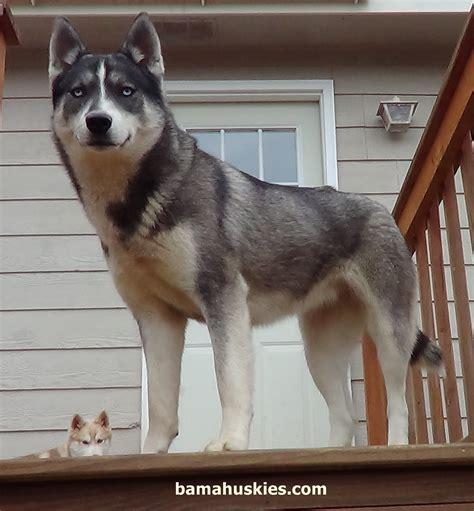 taking deposits on siberian husky puppies siberian husky
