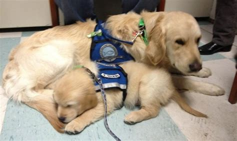 golden retrievers newtown ct 26 best images about k 9 comfort dogs of lutheran church charities on