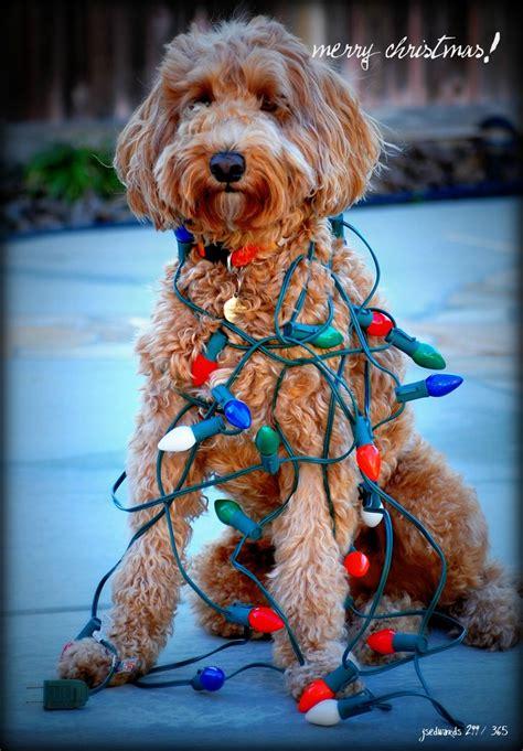 christmas goldendoodle dog christmas  christmas dog puppy snuggles