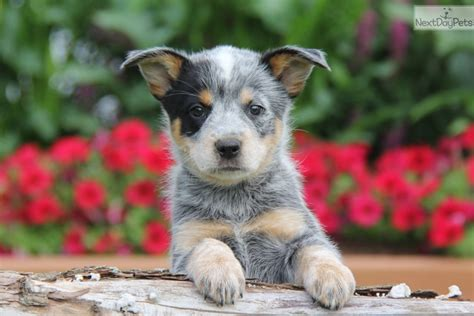 australian cattle puppies for sale near me australian cattle blue heeler puppy for sale near lancaster pennsylvania