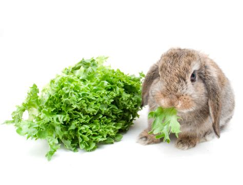can a eat lettuce image gallery iceberg lettuce rabbits