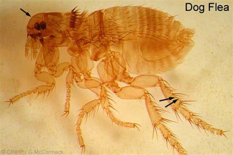 cat fleas vs fleas cook islands biodiversity ctenocephalides felis cat flea