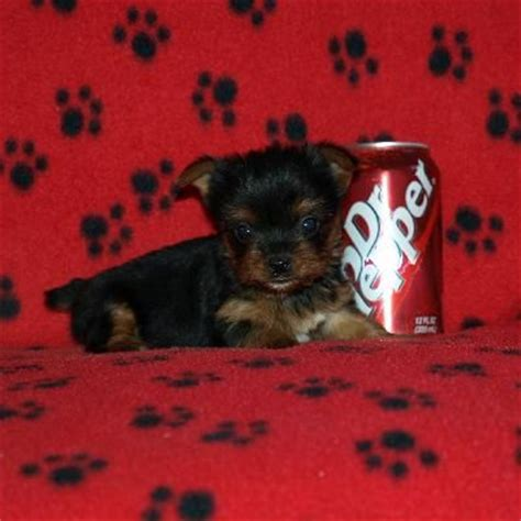 blue and gold teacup yorkie blue and gold teacup yorkie puppies for sale adoption from scotia