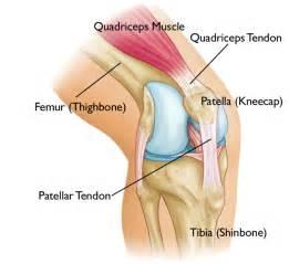 Anatomy of the knee human anatomy charts