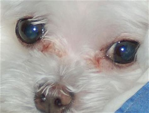 maltese shih tzu eye problems why do dogs get tear stains