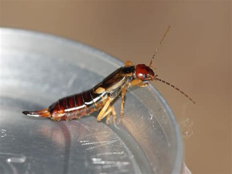 How to Get Rid of Earwigs - Control & Extermination