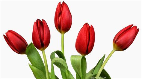 contoh gambar bunga tulip pin lukisan bunga red tulip