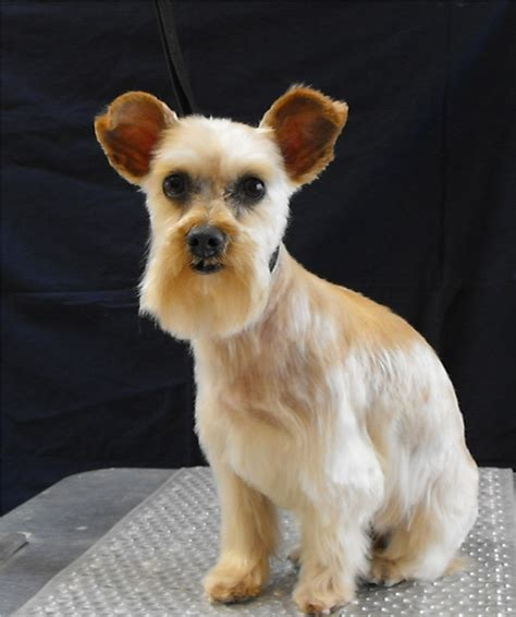half yorkie half schnauzer 1000 images about grooming maintenance on