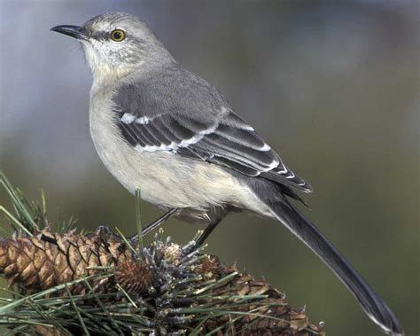 the local malcontent my favourite bird the mockingbird