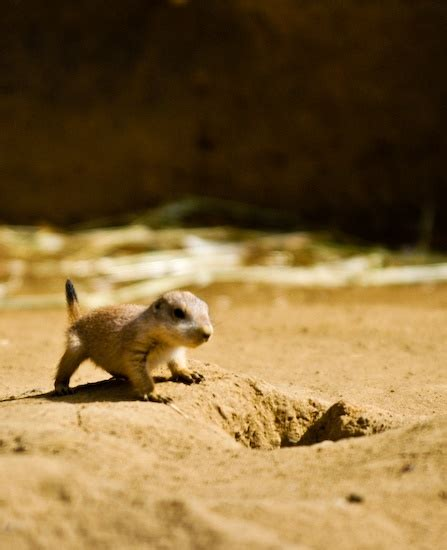 baby prairie dogs baby prairie my thing for rodents and cats