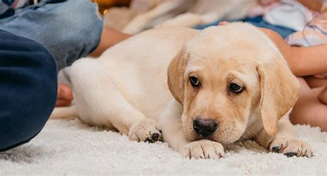 when to potty a puppy how to potty a puppy a complete guide from the labrador site