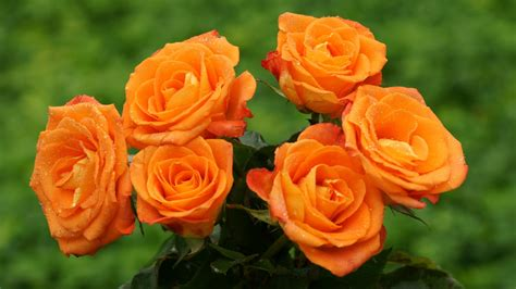 rose can orange rose haidemorala