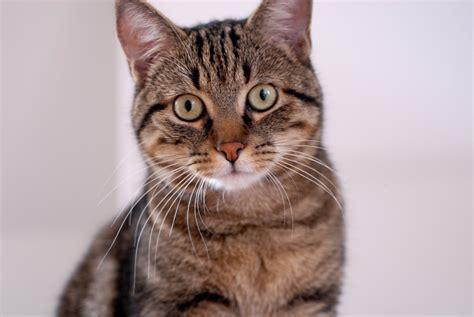 imagenes increibles de gatos gatos comunes europeos mundogatos com