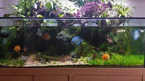 aquarium design for arowana an asian arowana paludarium advanced aquarist aquarist
