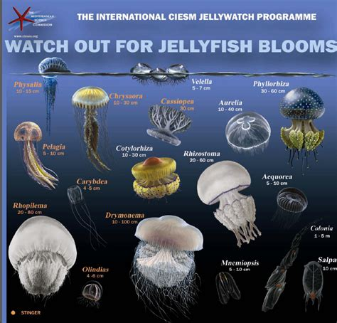 Jelly All Type types of jellyfish 187 any