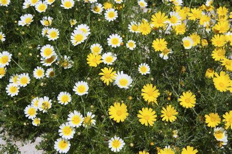 fiori gialli da giardino fiori gialli e bianchi della margherita in giardino