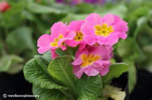 floral pictures primula flower picture 17