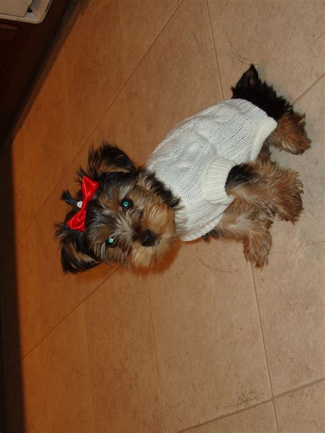 yorkie dressed up yorkies images dressed up hd wallpaper and background photos 10351452