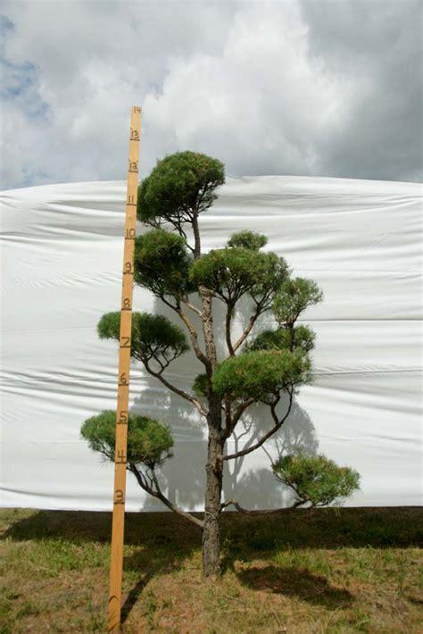 scotch pine topiary 187 scotch pine topiary tree 70 plants beautiful nursery