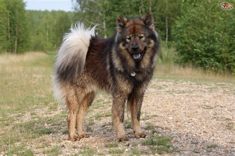 eurasier puppies eurasier breed information buying advice photos and facts pets4homes