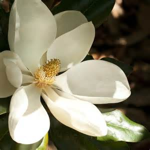 Magnolia Flower Paintings - southern magnolia blossom in the shadows by kathy clark