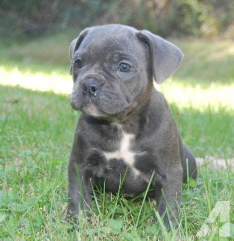 corso puppies for sale tn corso bulldog puppies for sale in clinton tennessee classified