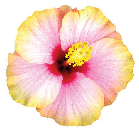 fiori hibiscus hibiscus un saluto dalle hawaii