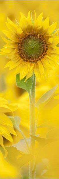 printable sunflower bookmarks 1000 images about printable bookmarks on pinterest