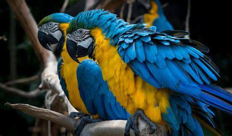 blue amp yellow macaw parrott facts information amp habitat