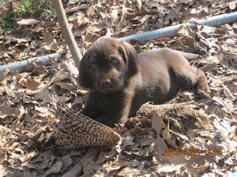 pudelpointer puppies pudelpointer puppies dogs foothill kennel