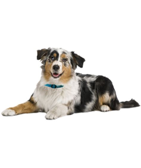 australian shepherd puppies for adoption australian shepherd puppies dogs for adoption