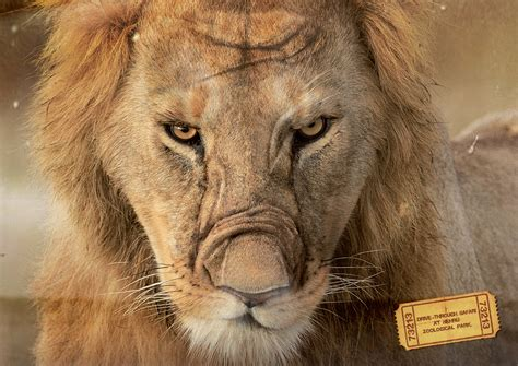 Lion Print by Nehru Zoological Park Bear Tiger Lion Adeevee