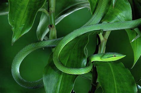Duvet Green Green Vine Snake Oxybelis Fulgidus Photograph By Michael