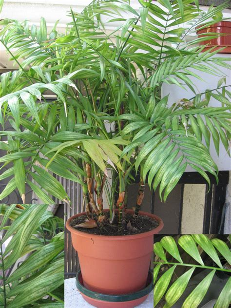 indoor palm article indoor palms selecting and caring for these