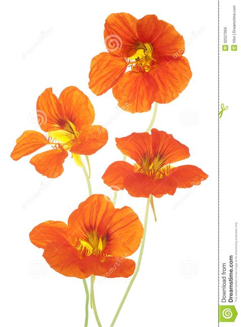 colorful flowers picture orange flowers in bloom light nasturtium royalty free stock image image 32527056