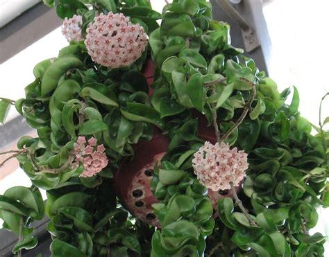 piante da giardino pieno sole piante ricadenti pieno sole 15 erbacee perenni a crescita