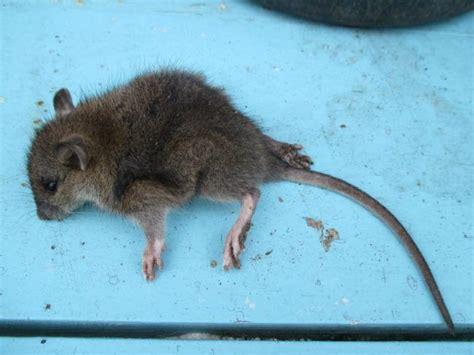 huis muis muis rat in huis schuur pagina 2 moestuin forum voor