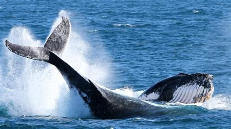 hervey bay boat jobs boat sinks after colliding with a whale off hervey bay